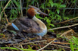 Great crested Grebe by biffobear, photography->birds gallery