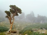 Bristlecone Pine Tree in the Clouds RW by d_spin_9, Rework gallery