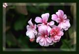 Spring Garden - Climbing Geranium by LynEve, photography->flowers gallery