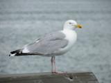 Gull by rvdb, photography->birds gallery