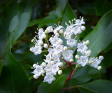 Little White Blossoms by LynEve, photography->flowers gallery