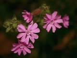 Red Campion by pom1, photography->flowers gallery