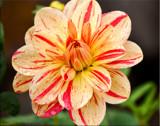 Divine Dahlia by jeenie11, photography->flowers gallery