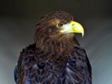 Sima by biffobear, photography->birds gallery