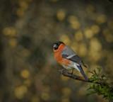 Bully Boy by biffobear, photography->birds gallery