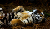 Quiet Please_Tiger Sleeping by tigger3, photography->animals gallery