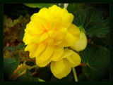 Yellow Begonia by LynEve, photography->flowers gallery