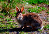 cottontail by solita17, Photography->Animals gallery
