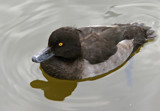 Female Tufted Duck by biffobear, photography->birds gallery