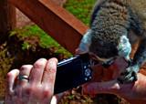Lemme Lemur by biffobear, photography->animals gallery