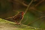 Soon Robbie. by biffobear, photography->birds gallery