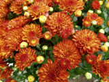 My First 2019 Mums by trixxie17, photography->flowers gallery