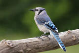 The Blue Jay way... by egggray, Photography->Birds gallery