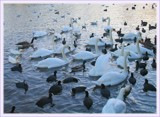 swan lake by fogz, Photography->Birds gallery