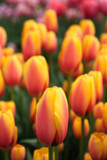 Tulip Mania by rob2001, Photography->Flowers gallery