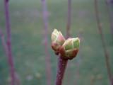 Spring Bud by bdayfun, Photography->Macro gallery