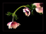 Anemones by JQ, Photography->Flowers gallery