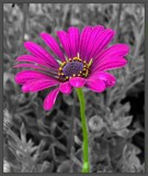 Selective Color Flower by ccmerino, photography->manipulation gallery
