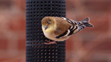 Goldfinch by gerryp, Photography->Birds gallery