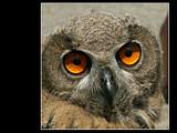 Golden Eyes by Dehli, Photography->Birds gallery