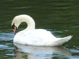 Swan by ccmerino, photography->birds gallery
