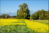 Rapeseed Field by corngrowth, photography->flowers gallery