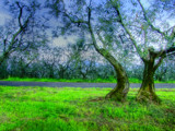 Olive trees by Ed1958, Photography->Landscape gallery