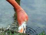 Flamingo Face by cuddlebuddy48, Photography->Birds gallery
