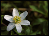 Wood anemone by ekowalska, Photography->Flowers gallery