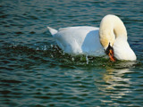 Drawing A Line In The Water by braces, Photography->Birds gallery