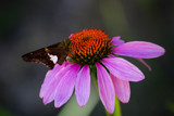 Butterfly on an Purple Coneflower by Pistos, photography->butterflies gallery