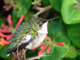 Exhausted Baby Hummer by scorpie, Photography->Birds gallery
