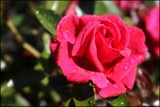Only A Rose by LynEve, photography->flowers gallery