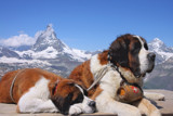 Saint Bernards at the Matterhorn by Paul_Gerritsen, photography->pets gallery