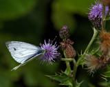 Thistlebug by biffobear, photography->butterflies gallery