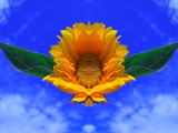 Sunflower Float by ccmerino, Photography->Manipulation gallery