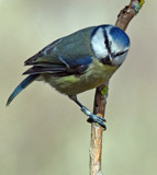 Blue Tit.... by biffobear, photography->birds gallery