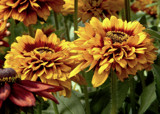 Double Fringed Rudbeckia by trixxie17, photography->flowers gallery