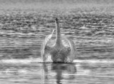 Sundown Swan #2 In B&W by tigger3, photography->action or motion gallery