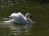Lancelot by wheedance, Photography->Birds gallery