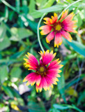 Indian Blanket Flower by Pistos, photography->flowers gallery