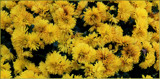 Mums The Word #2 by tigger3, photography->flowers gallery