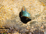 Butterfly by Pistos, photography->butterflies gallery
