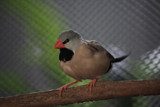 Shaft Tail Finch by Jimbobedsel, photography->birds gallery