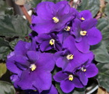 African Violets by connodado, Photography->Flowers gallery