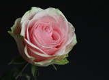 A Rose for Friday by jerseygurl, photography->flowers gallery