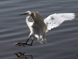 Little Egret by Si, Photography->Birds gallery