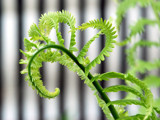 Fern Unfurling by wheedance, photography->macro gallery