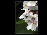 The Magestic Catalpa Flowers by photoimagery, Photography->Flowers gallery
