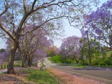 Jacaranda Road by J_272004, Photography->Flowers gallery